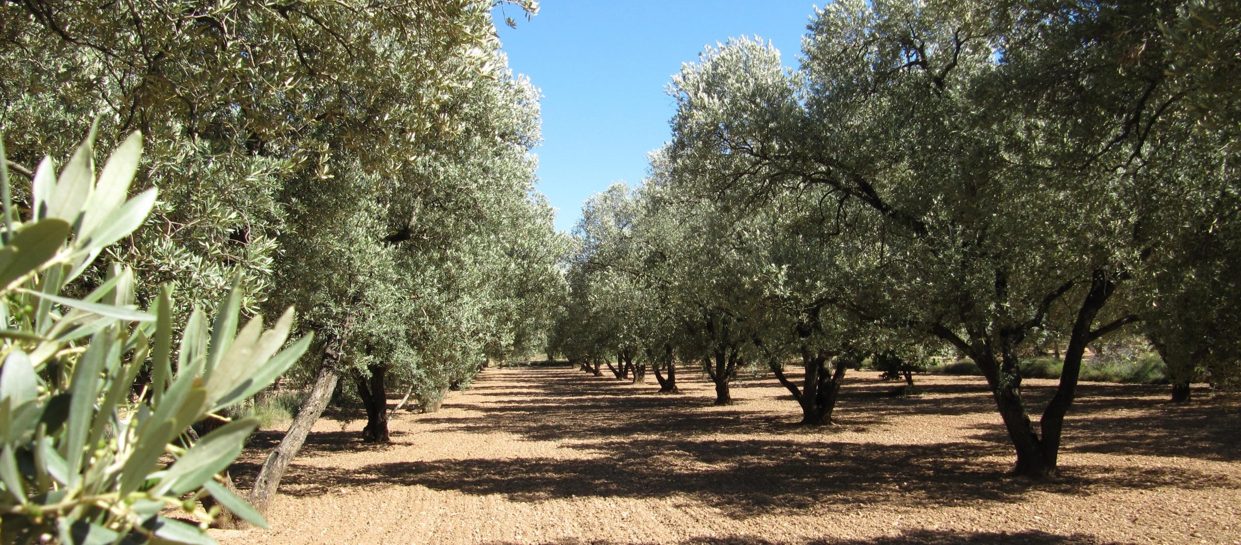 Campo de olivos Belchite, empeltre