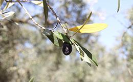 salud con el aceite de oliva